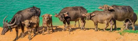 Water Buffalo, Hue city, Vietnam